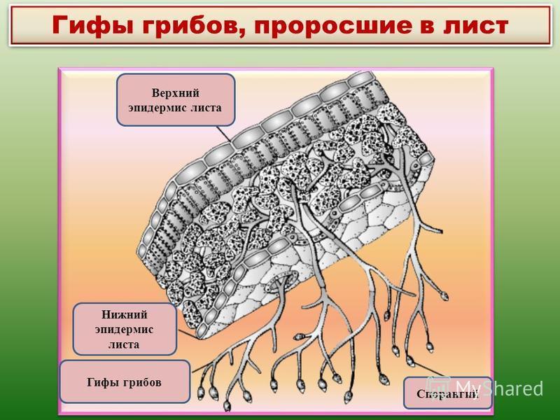 Гифы грибов, проросшие в лист Верхний эпидермис листа Нижний эпидермис листа Гифы грибов Спорангий