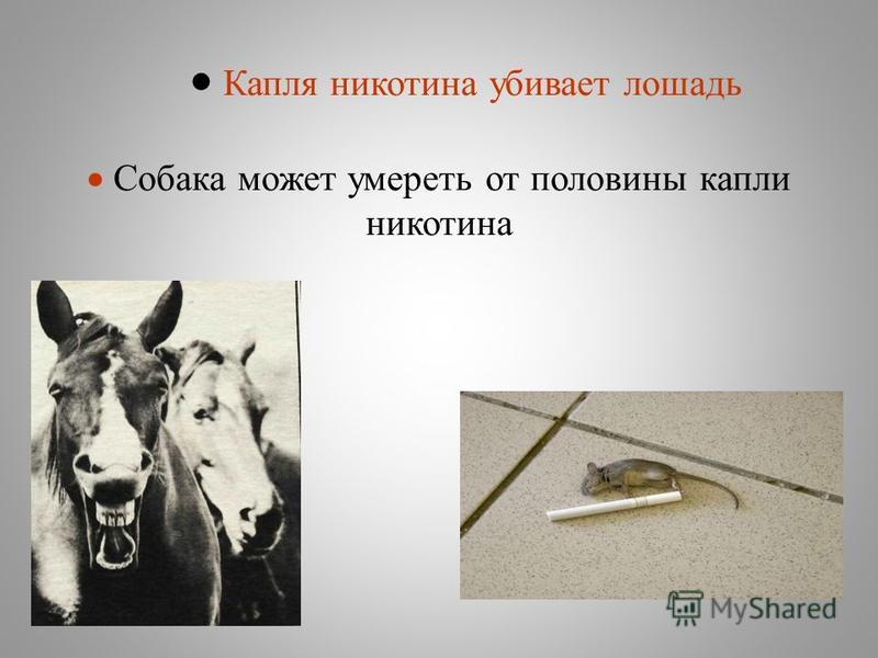 Капля никотина убивает лошадь Собака может умереть от половины капли никотина