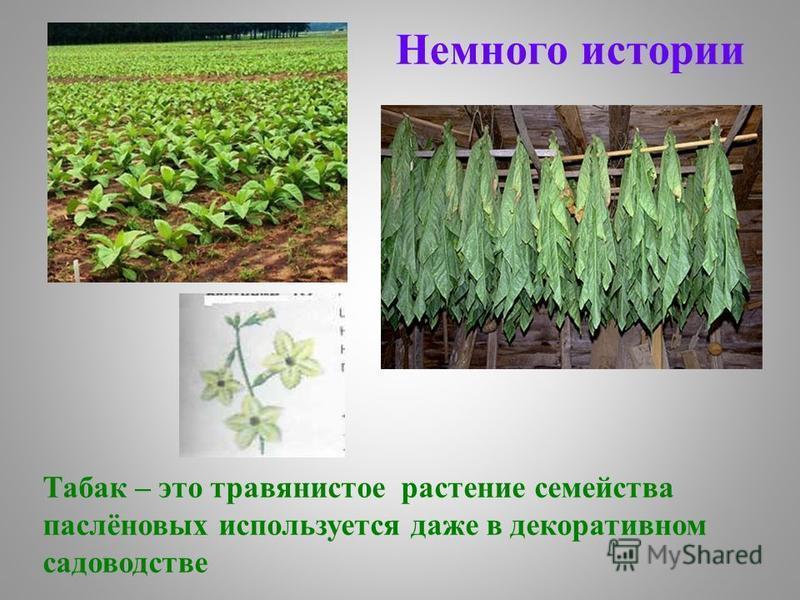 Табак – это травянистое растение семейства паслёновых используется даже в декоративном садоводстве Немного истории