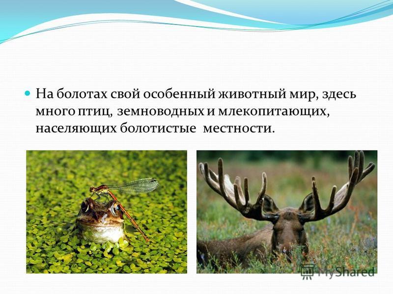 На болотах свой особенный животный мир, здесь много птиц, земноводных и млекопитающих, населяющих болотистые местности.