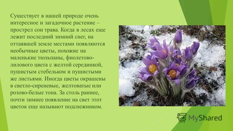 Существует в нашей природе очень интересное и загадочное растение – прострел сон трава. Когда в лесах еще лежит последний зимний снег, на оттаявшей земле местами появляются необычные цветы, похожие на маленькие тюльпаны, фиолетово- лилового цвета с ж