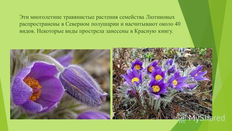 Эти многолетние травянистые растения семейства Лютиковых распространены в Северном полушарии и насчитывают около 40 видов. Некоторые виды прострела занесены в Красную книгу.