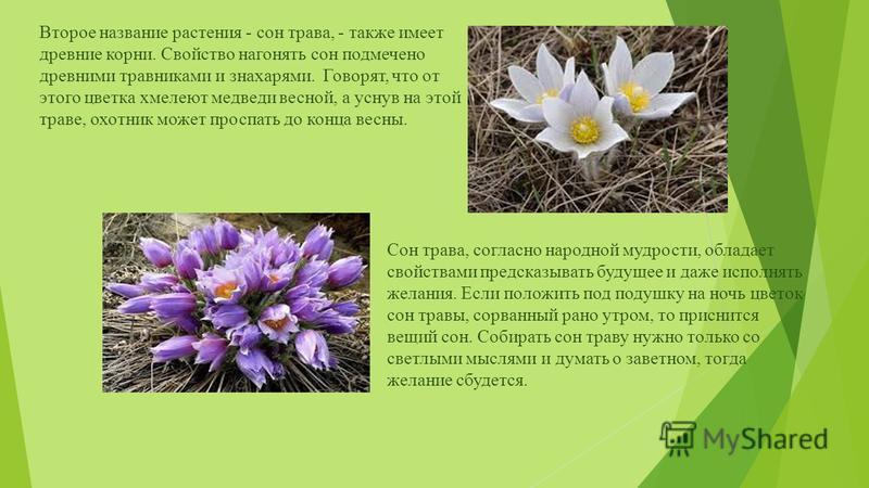 Второе название растения - сон трава, - также имеет древние корни. Свойство нагонять сон подмечено древними травниками и знахарями. Говорят, что от этого цветка хмелеют медведи весной, а уснув на этой траве, охотник может проспать до конца весны. Сон
