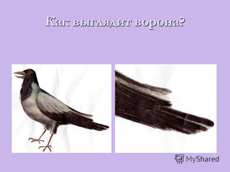 Как выглядит ворона?