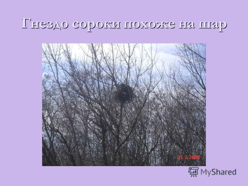 Гнездо сороки похоже на шар