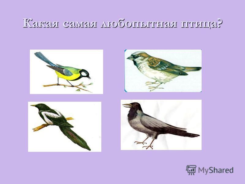 Какая самая любопытная птица?