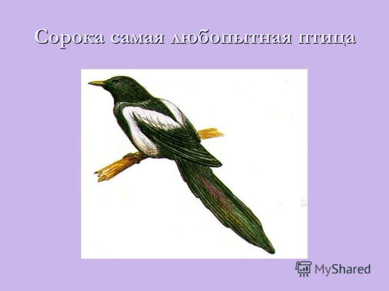 Сорока самая любопытная птица