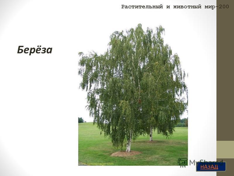 НАЗАД Берёза Растительный и животный мир-200