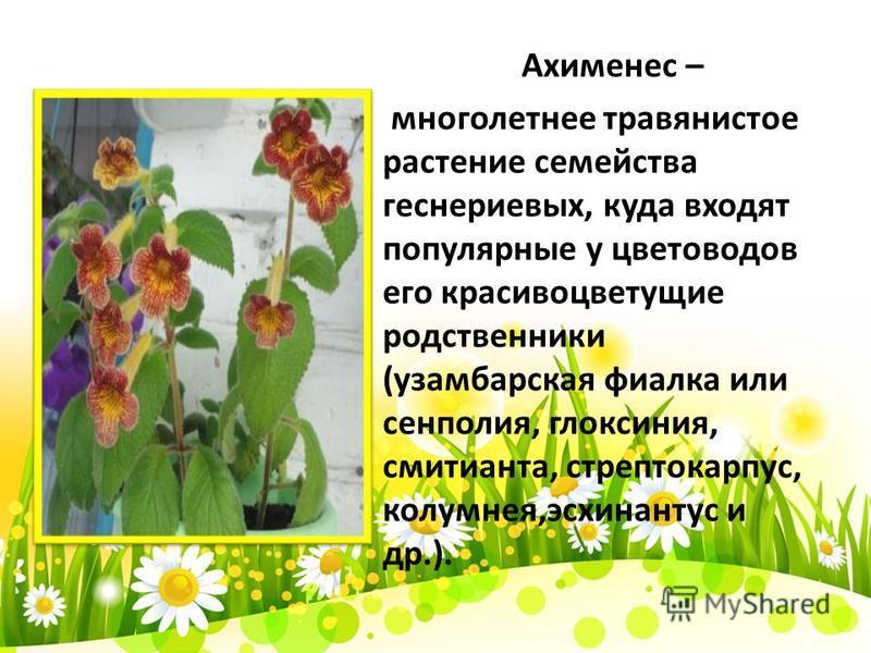 Ахименес – многолетнее травянистое растение семейства геснериевых, куда входят популярные у цветоводов его красивоцветущие родственники (узамбарская фиалка или сенполия, глоксиния, смитианта, стрептокарпус, колумнея,эсхинантус и др.).