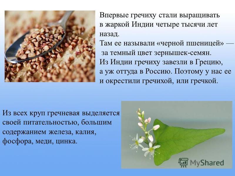 Впервые гречиху стали выращивать в жаркой Индии четыре тысячи лет назад. Там ее называли «черной пшеницей» за темный цвет зернышек-семян. Из Индии гречиху завезли в Грецию, а уж оттуда в Россию. Поэтому у нас ее и окрестили гречихой, или гречкой. Из