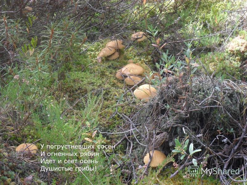 У погрустневших сосен И огненных рябин Идет и сеет осень Душистые грибы!