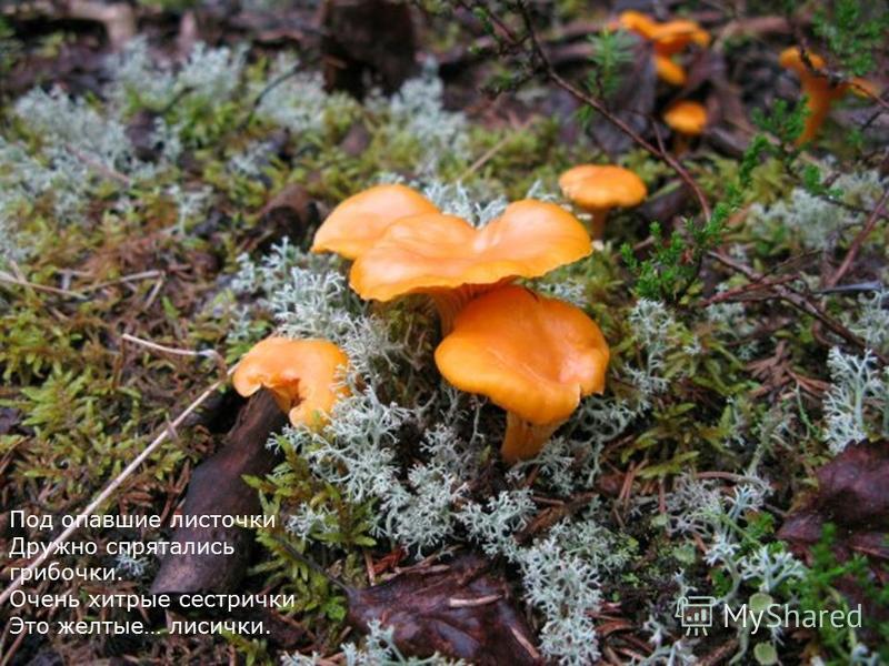 Под опавшие листочки Дружно спрятались грибочки. Очень хитрые сестрички Это желтые… лисички.