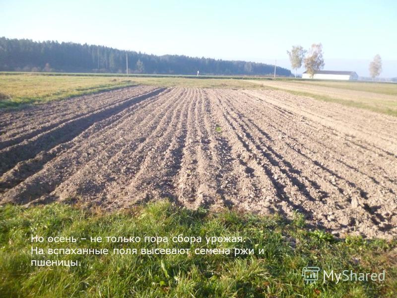 Но осень – не только пора сбора урожая. На вспаханные поля высевают семена ржи и пшеницы.