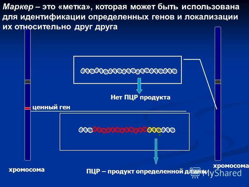 Маркер – это «метка», которая может быть использована для идентификации определенных генов и локализации их относительно друг друга хромосома ценный ген ПЦР – продукт определенной длины Нет ПЦР продукта