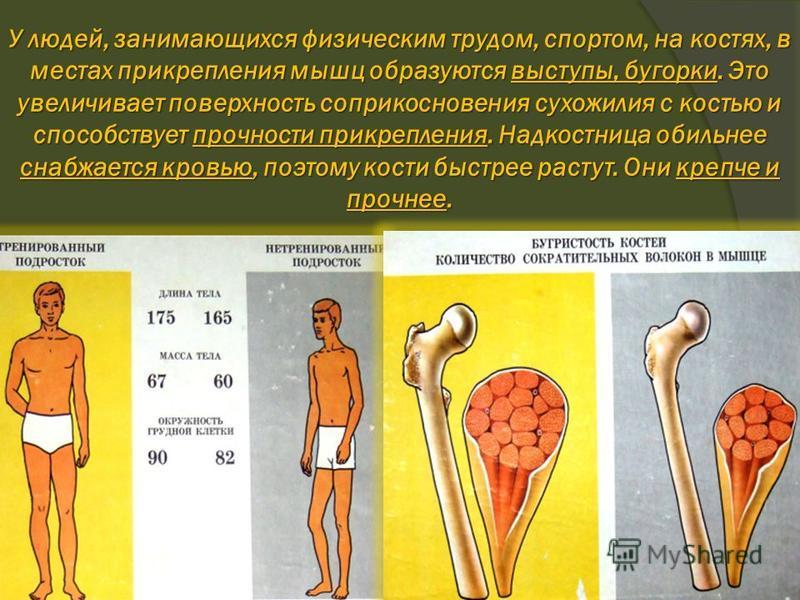 У людей, занимающихся физическим трудом, спортом, на костях, в местах прикрепления мышц образуются выступы, бугорки. Это увеличивает поверхность соприкосновения сухожилия с костью и способствует прочности прикрепления. Надкостница обильнее снабжается