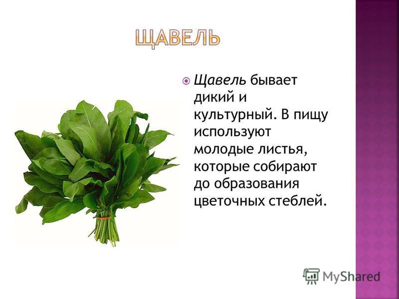 Щавель бывает дикий и культурный. В пищу используют молодые листья, которые собирают до образования цветочных стеблей.
