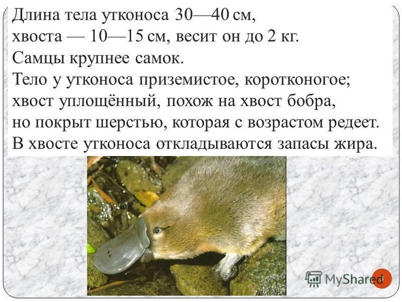 Длина тела утконоса 3040 см, хвоста 1015 см, весит он до 2 кг. Самцы крупнее самок. Тело у утконоса приземистое, коротконогое; хвост уплощённый, похож на хвост бобра, но покрыт шерстью, которая с возрастом редеет. В хвосте утконоса откладываются запа