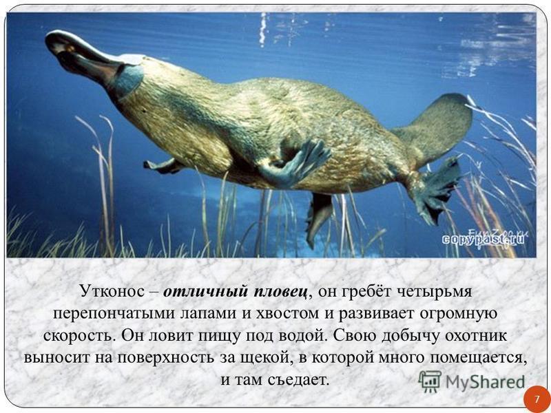 Утконос – отличный пловец, он гребёт четырьмя перепончатыми лапами и хвостом и развивает огромную скорость. Он ловит пищу под водой. Свою добычу охотник выносит на поверхность за щекой, в которой много помещается, и там съедает. 7