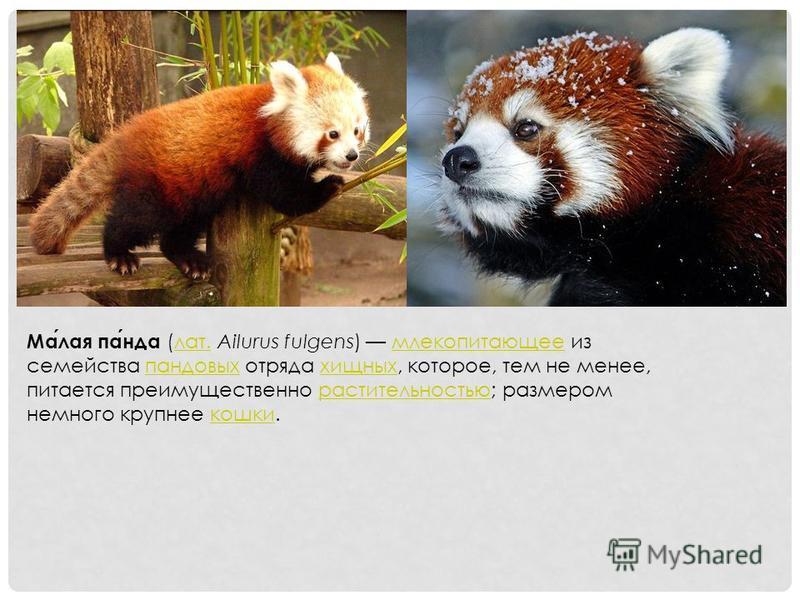 Малая панда (лат. Ailurus fulgens) млекопитающее из семейства пандовых отряда хищных, которое, тем не менее, питается преимущественно растительностью; размером немного крупнее кошки.лат.млекопитающеепандовыххищныхрастительностьюкошки