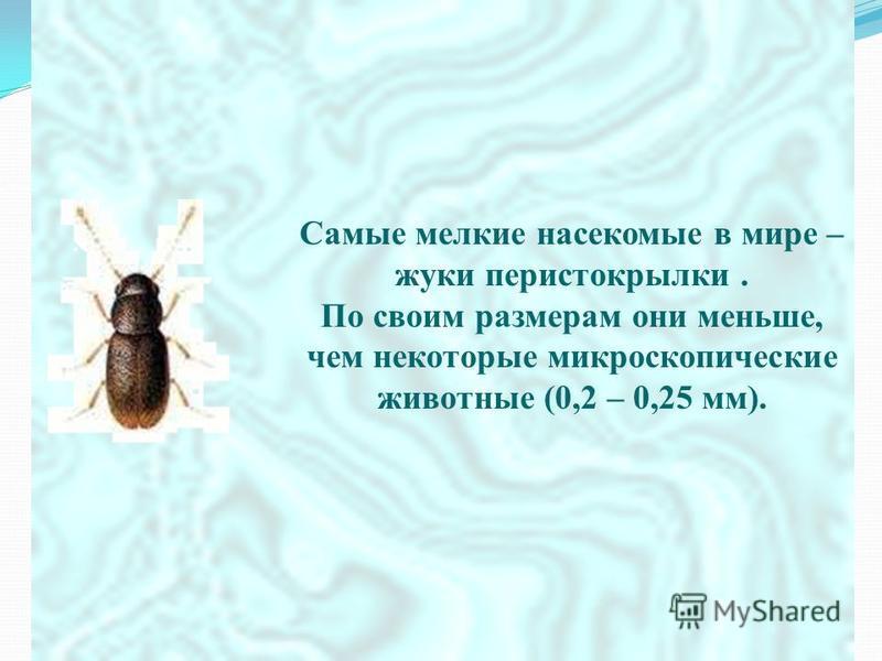Самые мелкие насекомые в мире – жуки перистокрылки. По своим размерам они меньше, чем некоторые микроскопические животные (0,2 – 0,25 мм).
