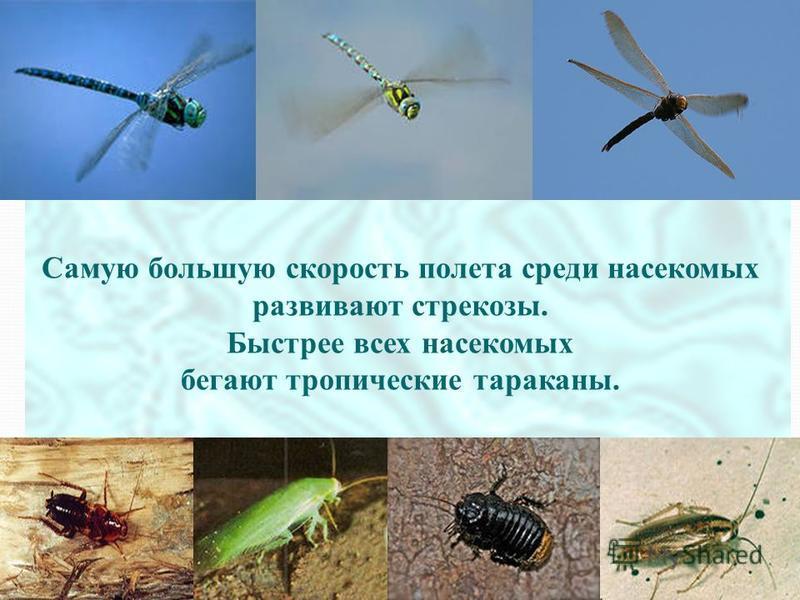 Самую большую скорость полета среди насекомых развивают стрекозы. Быстрее всех насекомых бегают тропические тараканы.