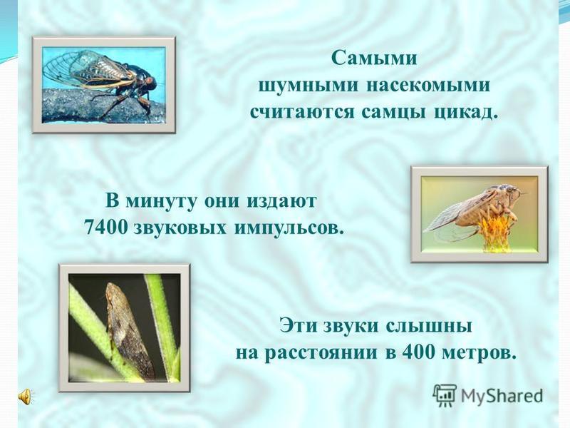Самыми шумными насекомыми считаются самцы цикад. В минуту они издают 7400 звуковых импульсов. Эти звуки слышны на расстоянии в 400 метров.