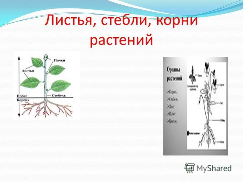 Листья, стебли, корни растений