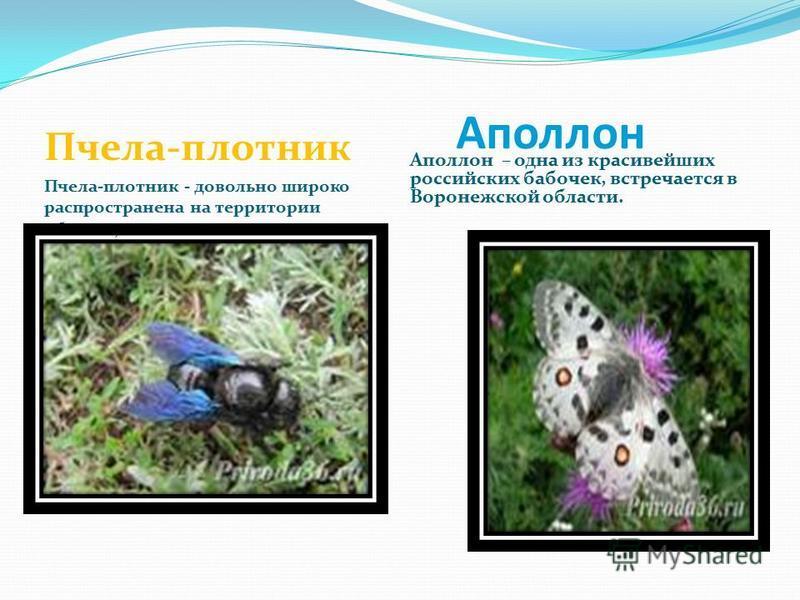Аполлон Пчела-плотник Пчела-плотник - довольно широко распространена на территории области, хотя является «краснокнижным» Аполлон – одна из красивейших российских бабочек, встречается в Воронежской области.