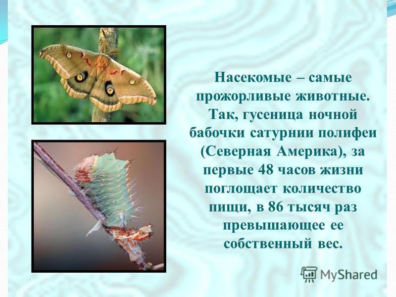 Насекомые – самые прожорливые животные. Так, гусеница ночной бабочки сатурнии полифем (Северная Америка), за первые 48 часов жизни поглощает количество пищи, в 86 тысяч раз превышающее ее собственный вес.