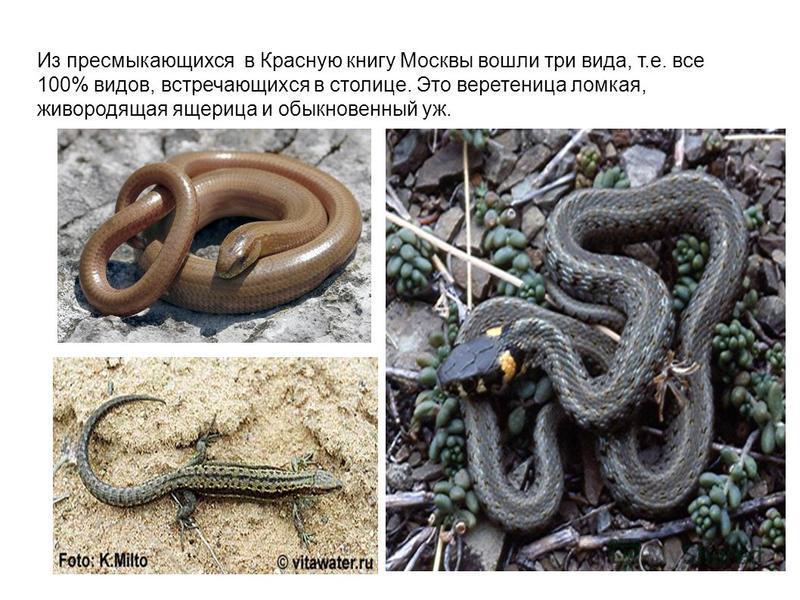 Из пресмыкающихся в Красную книгу Москвы вошли три вида, т.е. все 100% видов, встречающихся в столице. Это веретеница домкая, живородящая ящерица и обыкновенный уж.