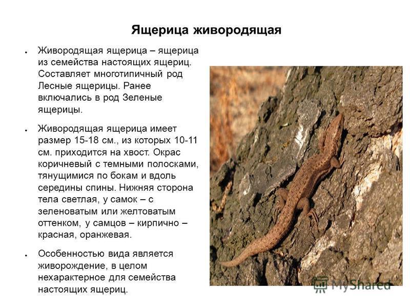 Ящерица живородящая Живородящая ящерица – ящерица из семейства настоящих ящериц. Составляет много типичный род Лесные ящерицы. Ранее включались в род Зеленые ящерицы. Живородящая ящерица имеет размер 15-18 см., из которых 10-11 см. приходится на хвос