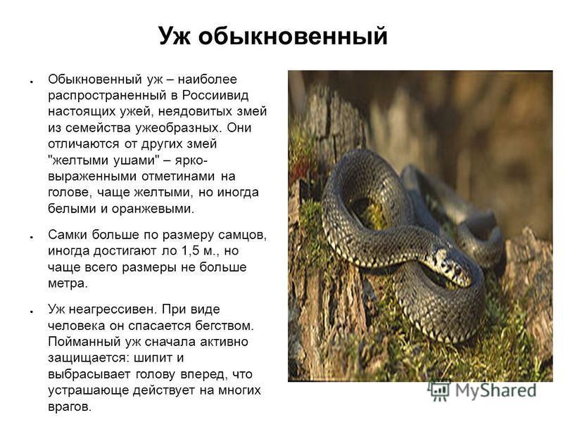 Уж обыкновенный Обыкновенный уж – наиболее распространенный в Россиивид настоящих ужей, неядовитых змей из семейства ужеобразных. Они отличаются от других змей