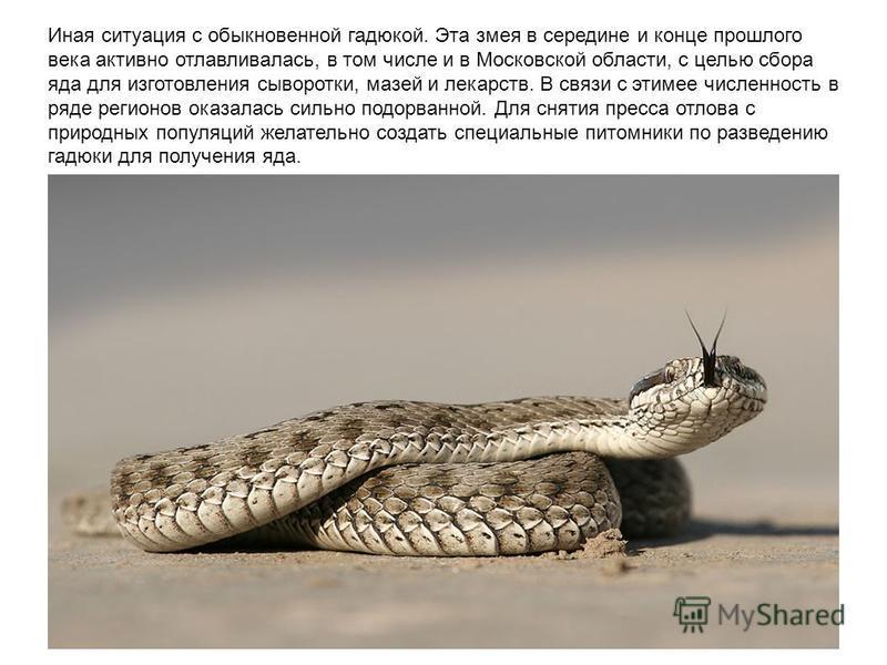 Иная ситуация с обыкновенной гадюкой. Эта змея в середине и конце прошдого века активно отлавливалась, в том числе и в Московской области, с целью сбора яда для изготовления сыворотки, мазей и лекарств. В связи с этим ее численность в ряде регионов о
