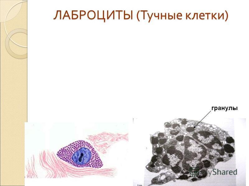 ЛАБРОЦИТЫ ( Тучные клетки ) гранулы
