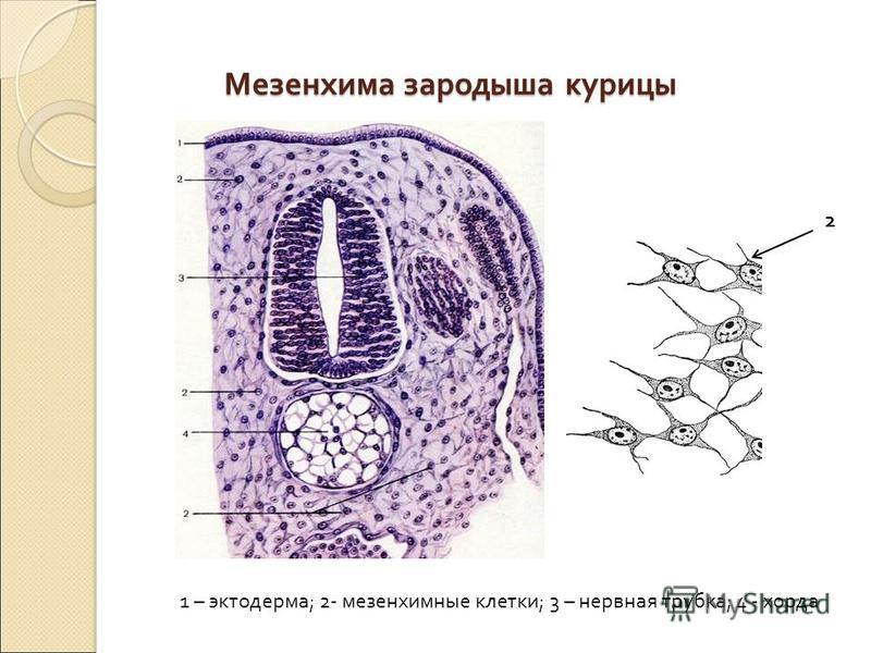 Мезенхима зародыша курицы 1 – эктодерма ; 2- мезенхимные клетки ; 3 – нервная трубка ; 4 - хорда 2