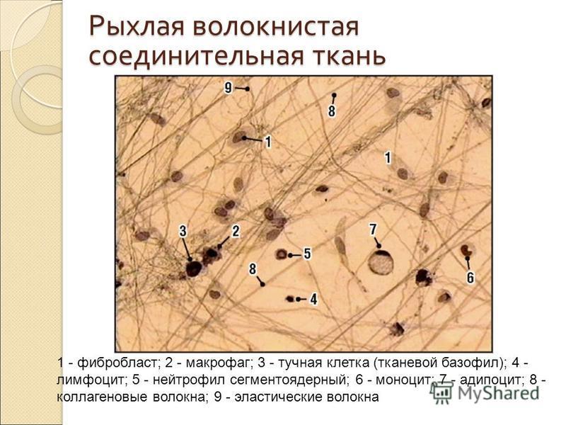 Рыхлая волокнистая соединительная ткань 1 - фибробласт; 2 - макрофаг; 3 - тучная клетка (тканевой базофил); 4 - лимфоцит; 5 - нейтрофил сегментоядерный; 6 - моноцит; 7 - адипоцит; 8 - коллагеновые волокна; 9 - эластические волокна