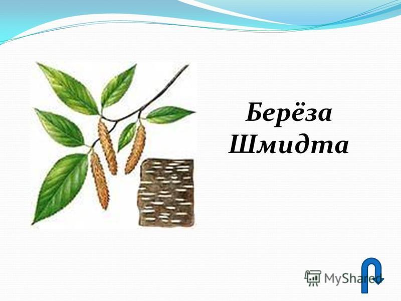 Берёза Шмидта