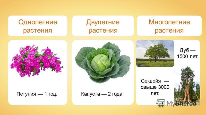 Однолетние растения Двулетние растения Многолетние растения Петуния 1 год. Капуста 2 года. Дуб 1500 лет. Секвойя свыше 3000 лет.