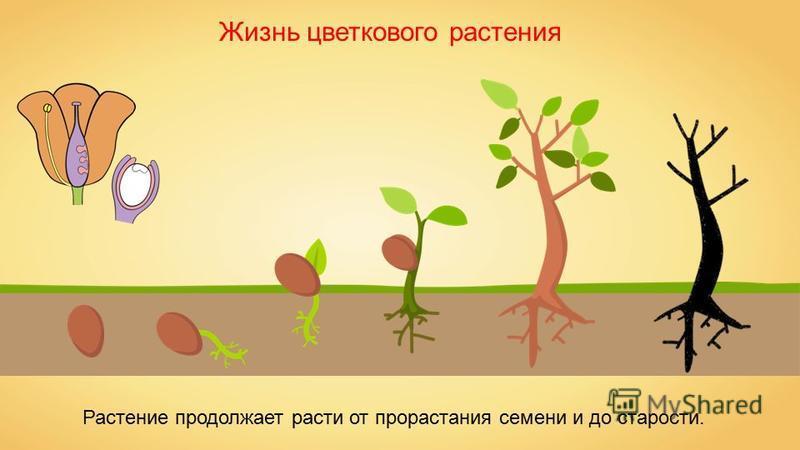 Жизнь цветкового растения Растение продолжает расти от прорастания семени и до старости.