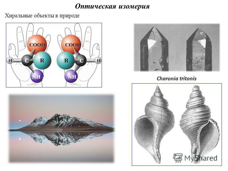 Оптическая изомерия Хиральные объекты в природе Charonia tritonis