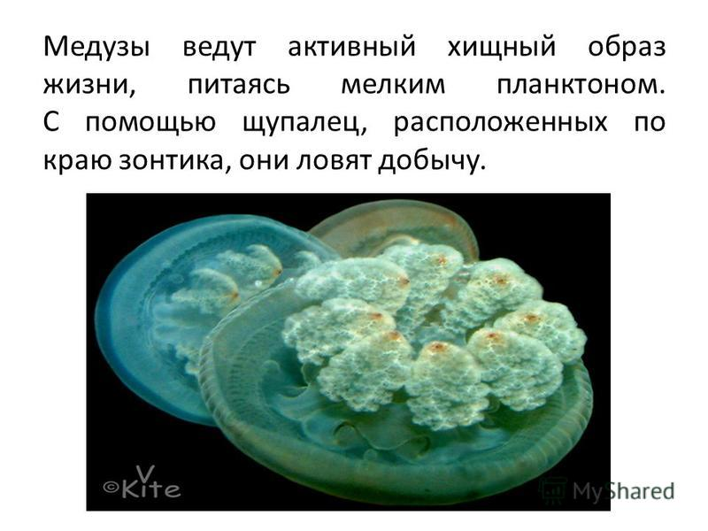 Бывают гидромедузы. Это прозрачные мелкие организмы, диаметром не более 10 см. Более крупные медузы - сцифоидные - достигают 2 метров в диаметре.