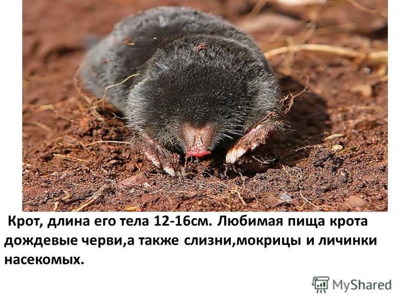 Крот, длина его тела 12-16 см. Любимая пища крота дождевые черви,а также слизни,мокрицы и личинки насекомых.