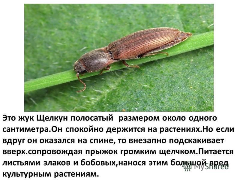 Это жук Щелкун полосатый размером около одного сантиметра.Он спокойно держится на растениях.Но если вдруг он оказался на спине, то внезапно подскакивает вверх.сопровождая прыжок громким щелчком.Питается листьями злаков и бобовых,нанося этим большой в