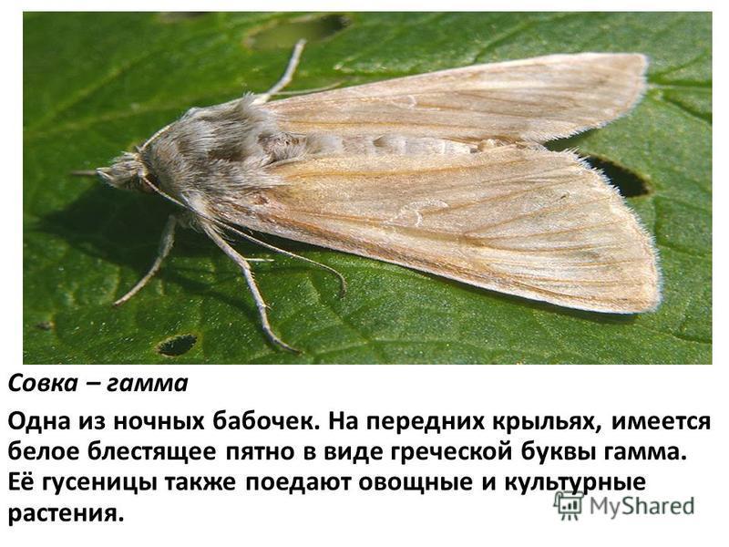 Совка – гамма Одна из ночных бабочек. На передних крыльях, имеется белое блестящее пятно в виде греческой буквы гамма. Её гусеницы также поедают овощные и культурные растения.