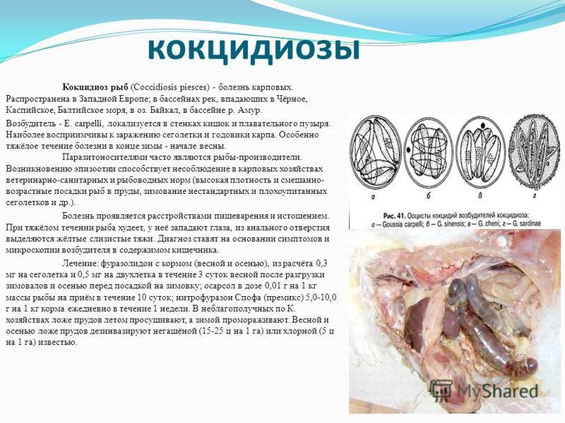 кокцидиозы Кокцидиоз рыб (Coccidiosis piesces) - болезнь карповых. Распространена в Западной Европе; в бассейнах рек, впадающих в Чёрное, Каспийское, Балтийское моря, в оз. Байкал, в бассейне р. Амур. Возбудитель - Е. carpelli, локализуется в стенках