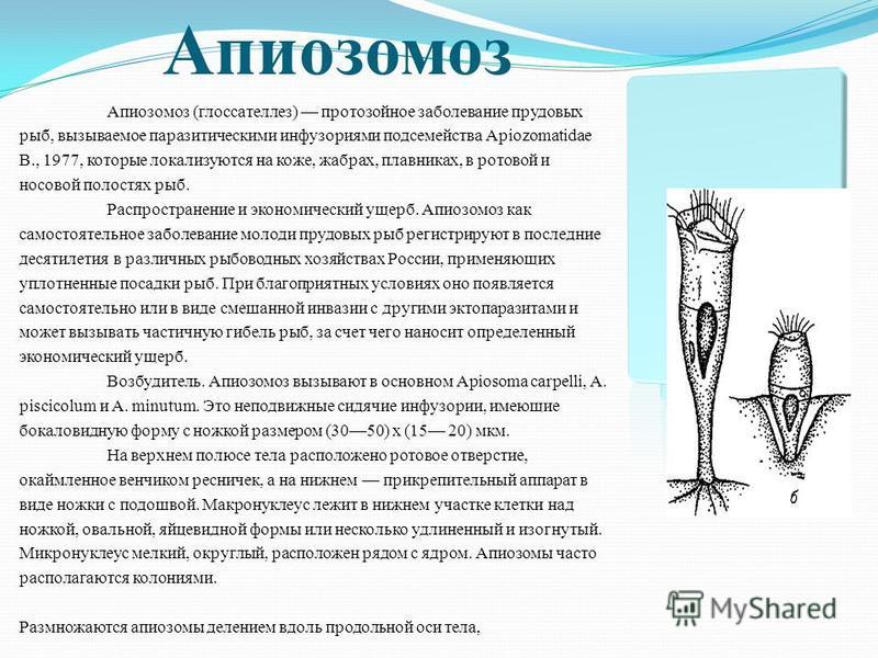 Апиозомоз Апиозомоз (глоссателлез) протозойное заболевание прудовых рыб, вызываемое паразитическими инфузориями подсемейства Apiozomatidae В., 1977, которые локализуются на коже, жабрах, плавниках, в ротовой и носовой полостях рыб. Распространение и