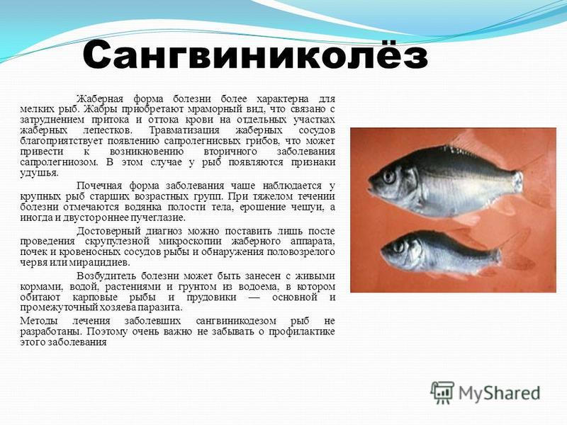 Сангвиниколёз Жаберная форма болезни более характерна для мелких рыб. Жабры приобретают мраморный вид, что связано с затруднением притока и оттока крови на отдельных участках жаберных лепестков. Травматизация жаберных сосудов благоприятствует появлен