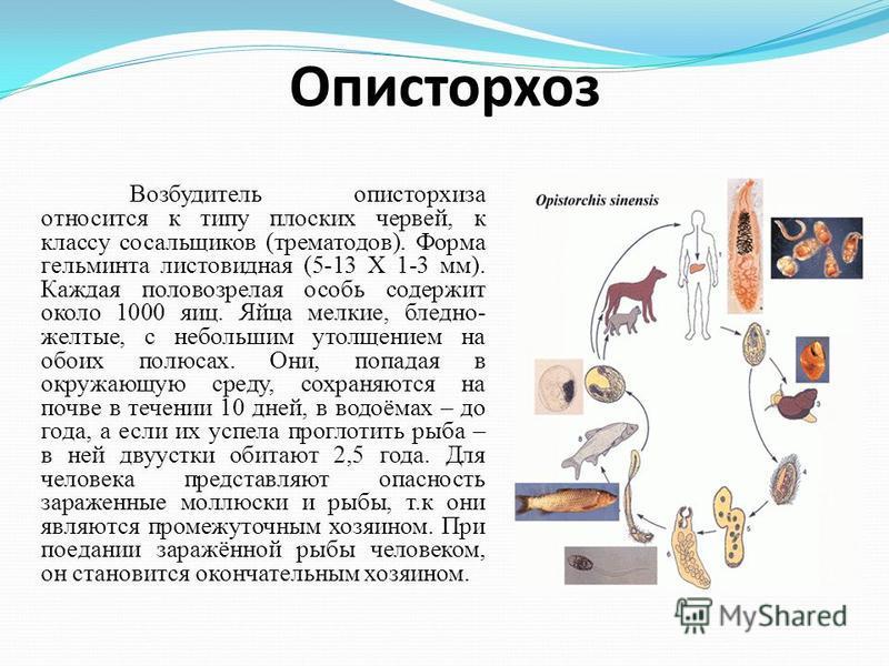 Описторхоз Возбудитель описторхиза относится к типу плоских червей, к классу сосальщиков (трематодов). Форма гельминта листовидная (5-13 Х 1-3 мм). Каждая половозрелая особь содержит около 1000 яиц. Яйца мелкие, бледно- желтые, с небольшим утолщением