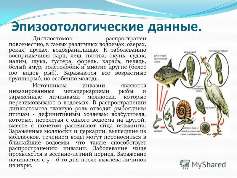 Эпизоотологические данные. Дисплостомоз распространен повсеместно, в самых различных водоемах: озерах, реках, прудах, водохранилищах. К заболеванию восприимчивы карп, лещ, плотва, окунь, судак, налим, щука, густера, форель, карась, пелядь, белый амур