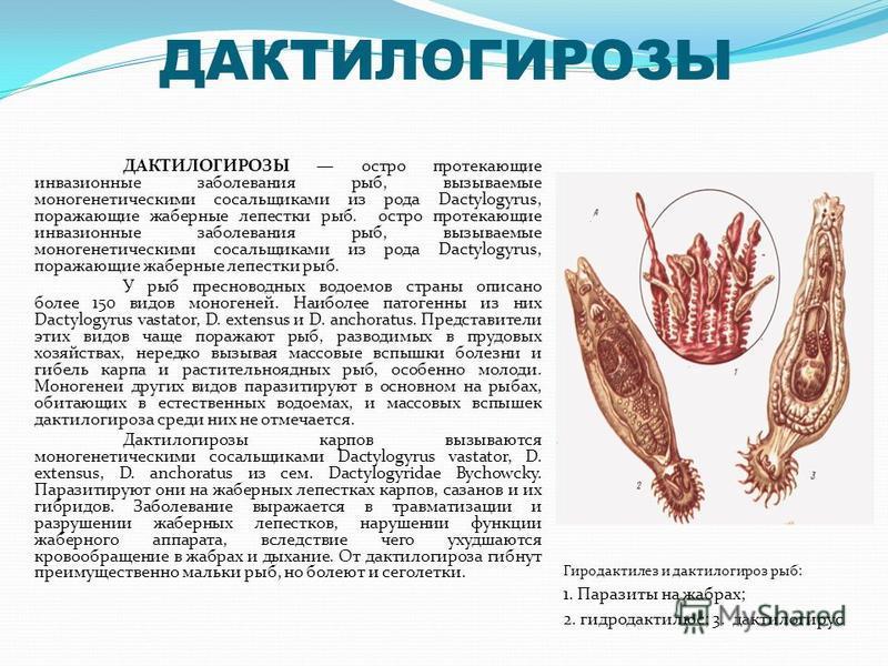 ДАКТИЛОГИРОЗЫ ДАКТИЛОГИРОЗЫ остро протекающие инвазионные заболевания рыб, вызываемые моногенетическими сосальщиками из рода Dactylogyrus, поражающие жаберные лепестки рыб. остро протекающие инвазионные заболевания рыб, вызываемые моногенетическими с